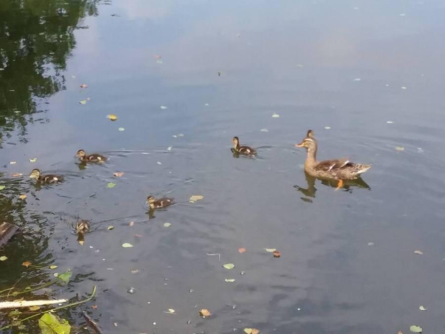 Les canards à l'île enchantée