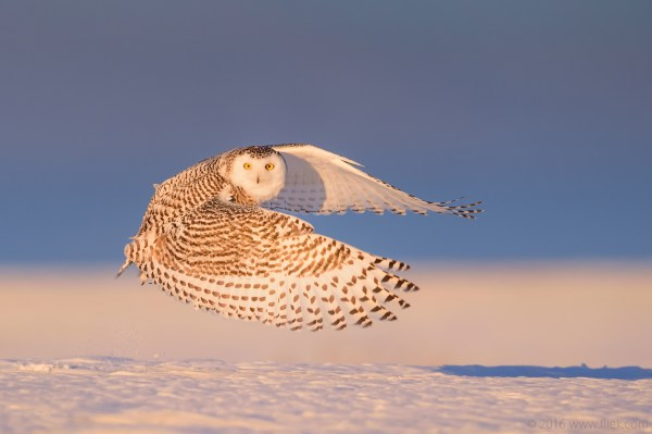 Snow Owl4-part1