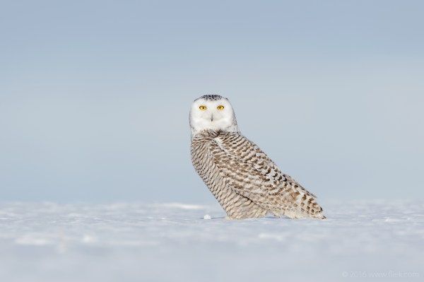 Snow Owl6-part2