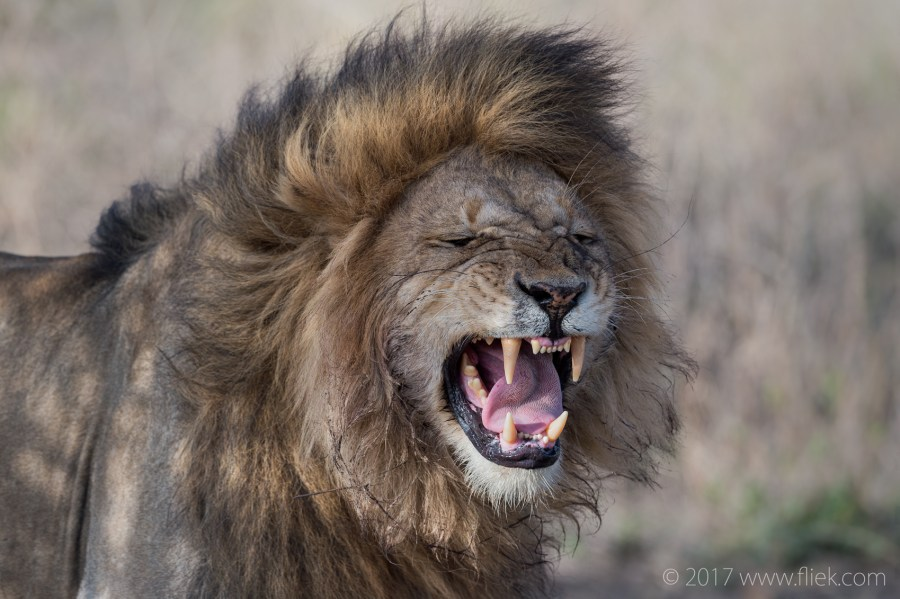 serengeti-male-lion