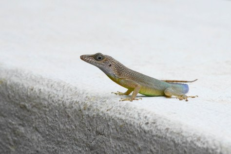 Negril jamaica Lizard