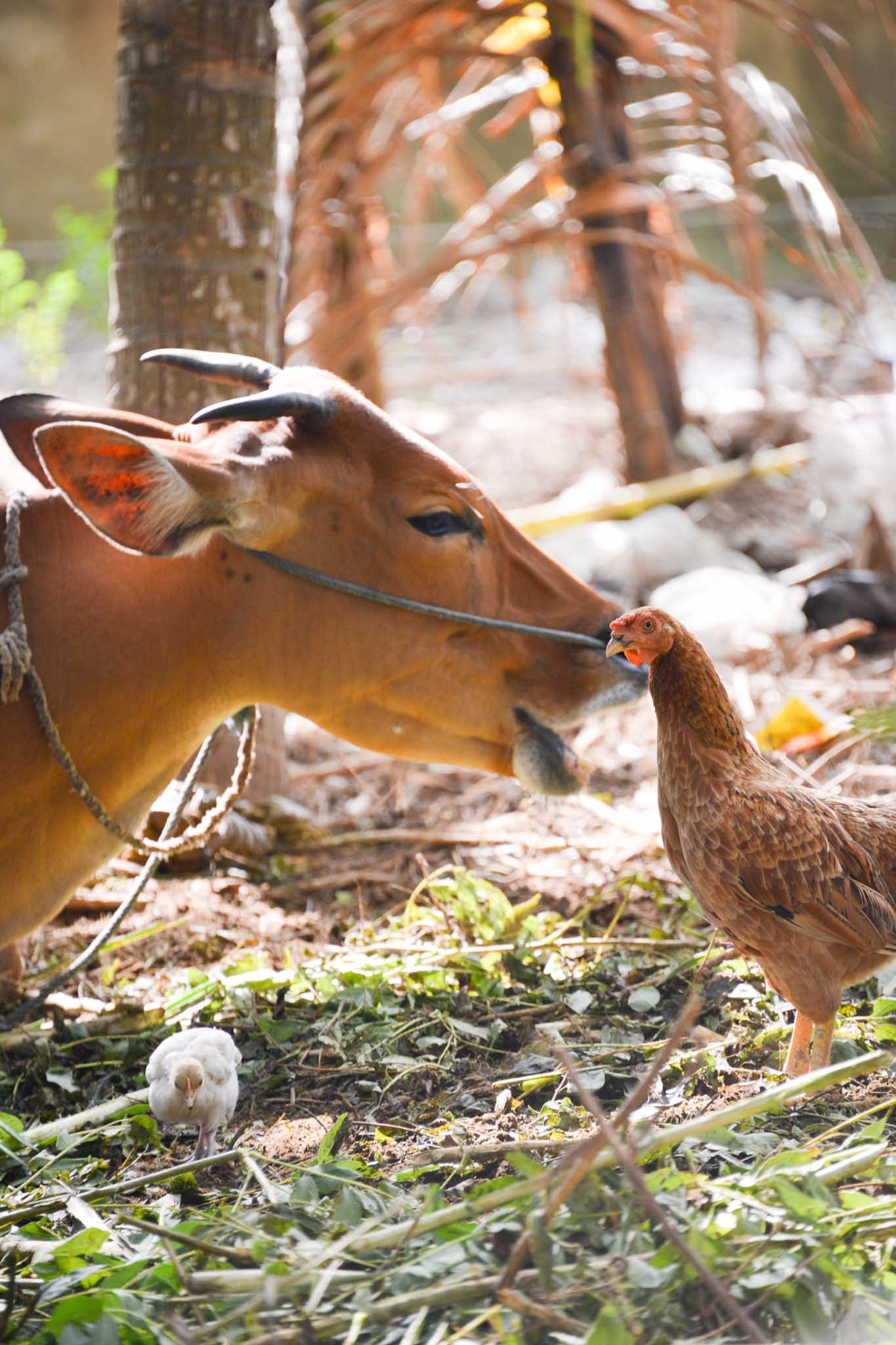 NusaLembongan cow and chicken
