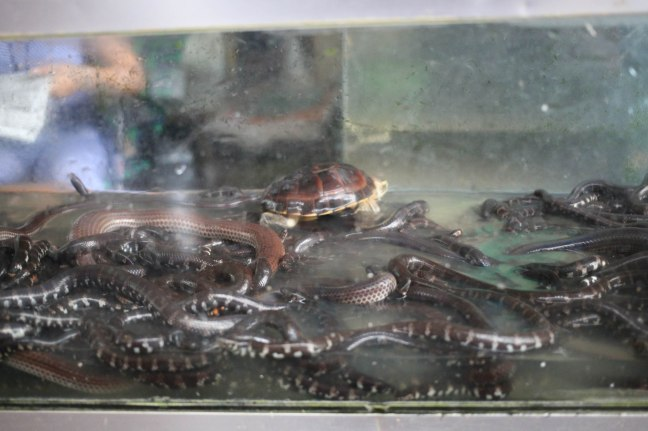 Sea Snakes and Turtle