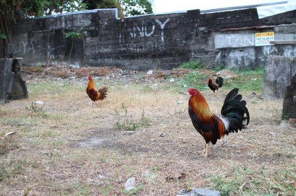 Rooster_Fighting_Philippines_02