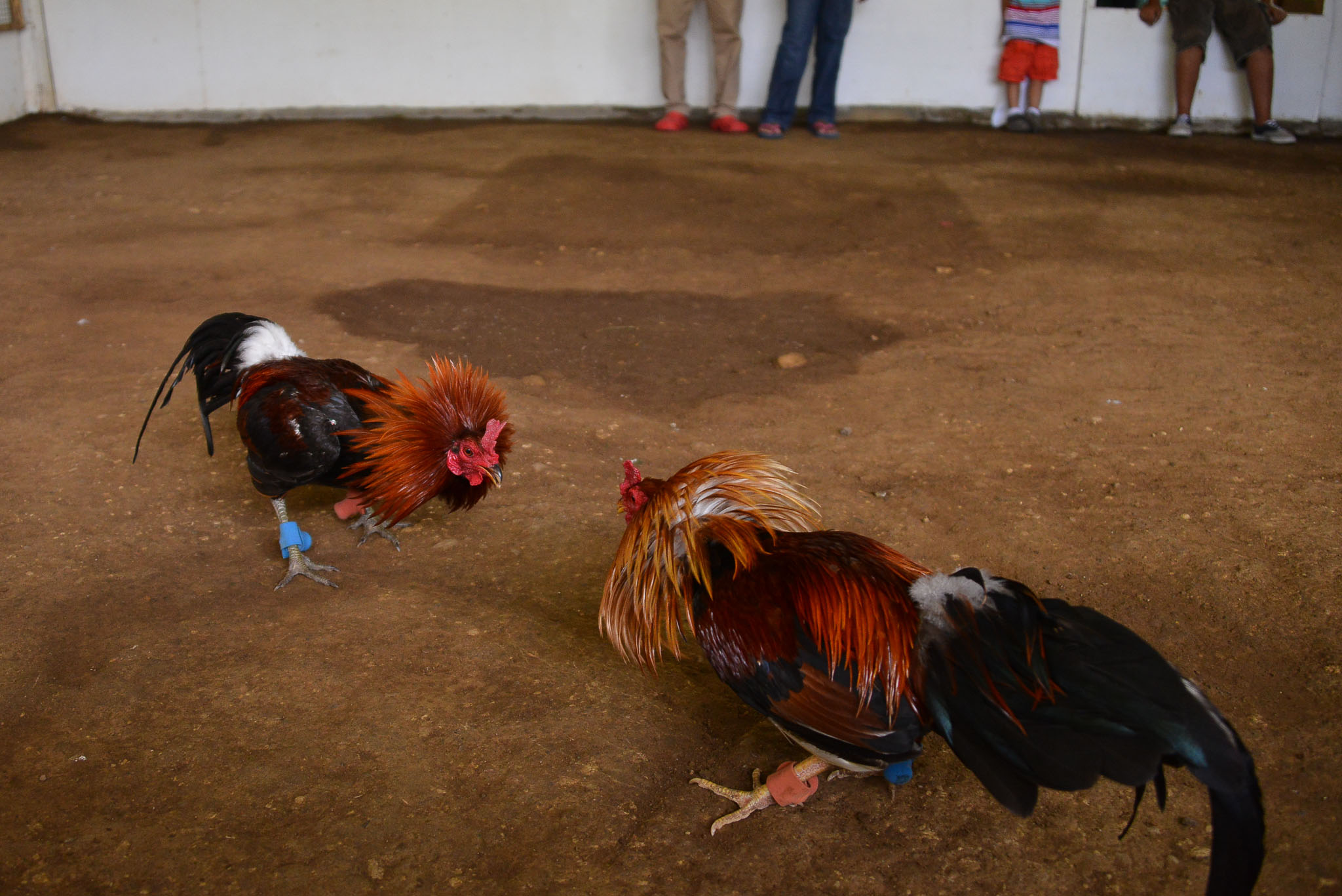 Rooster_Fighting_Philippines_16