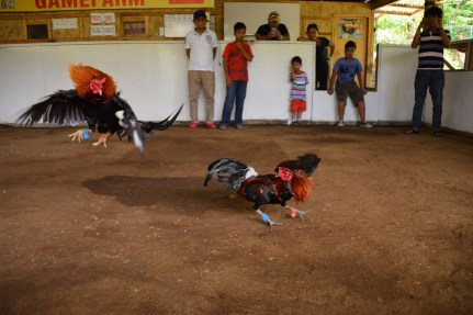 Rooster_Fighting_Philippines_18