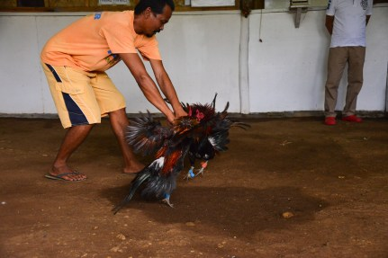 Rooster_Fighting_Philippines_21