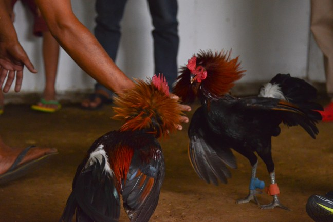 Rooster_Fighting_Philippines_26