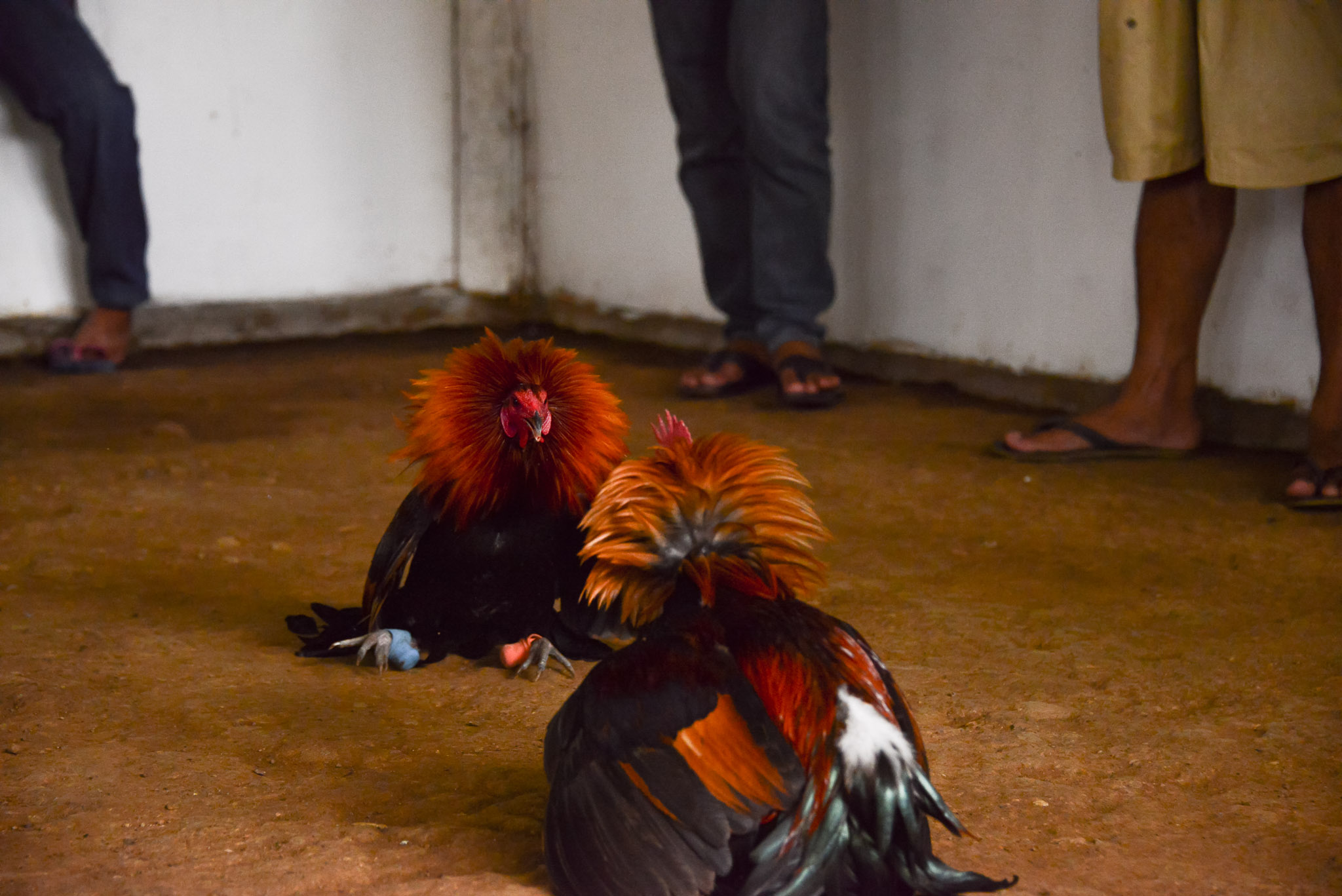 Rooster_Fighting_Philippines_27