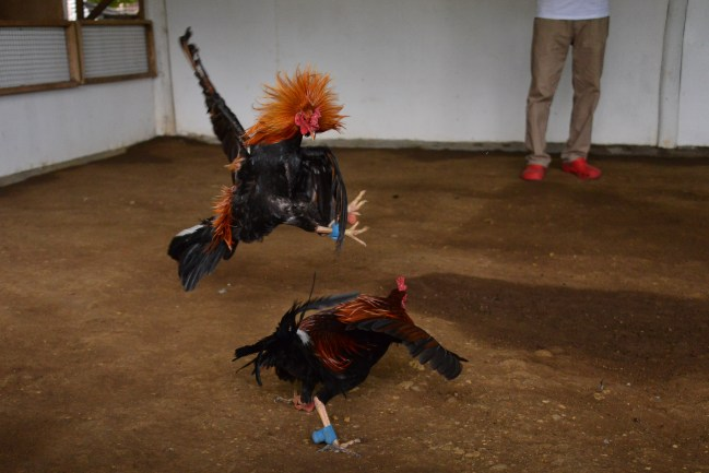 Rooster_Fighting_Philippines_30