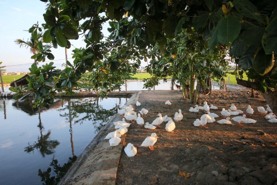 Ducks relaxing