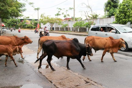 Cows Crossing