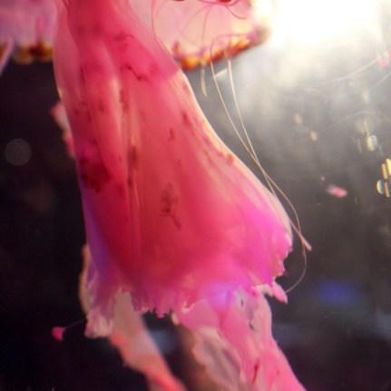 Jellyfish - Aquaria KLCC