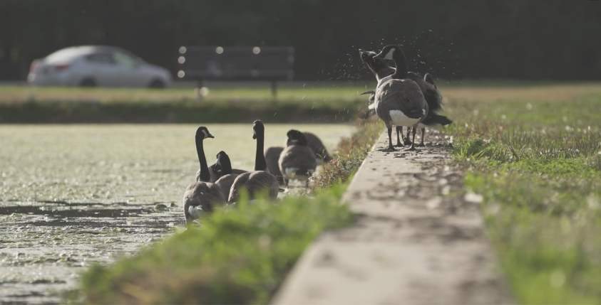 Goose Control Methods