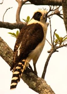 DSC_0010 laughing falcon