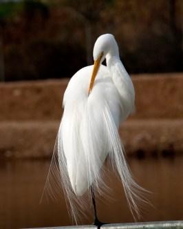 beautiful egret