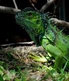 "unknown ""iguana"" in California"