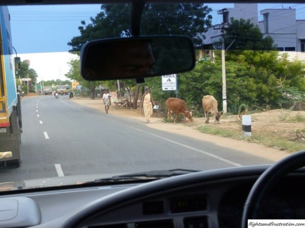 Cows at the side of the road within my love hate relationship with India