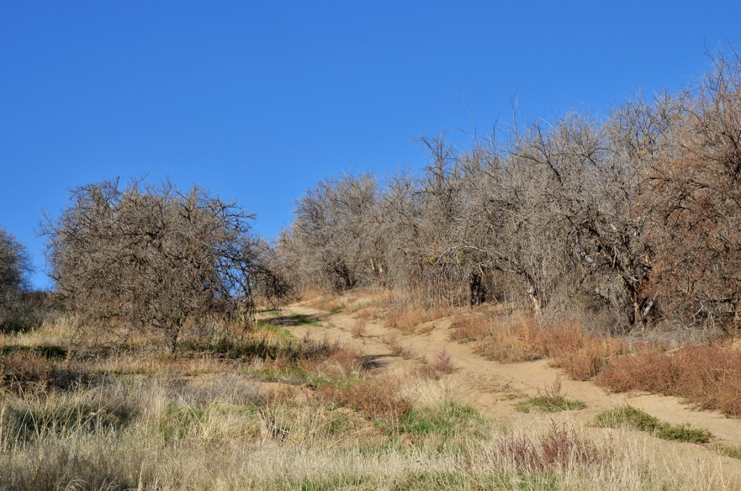 Dry orange trees, East Porterville