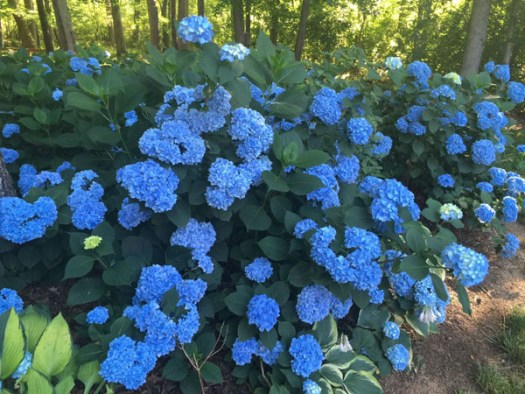 Scott Shephard of The Flower Podcast - blue hydrangea the family grows