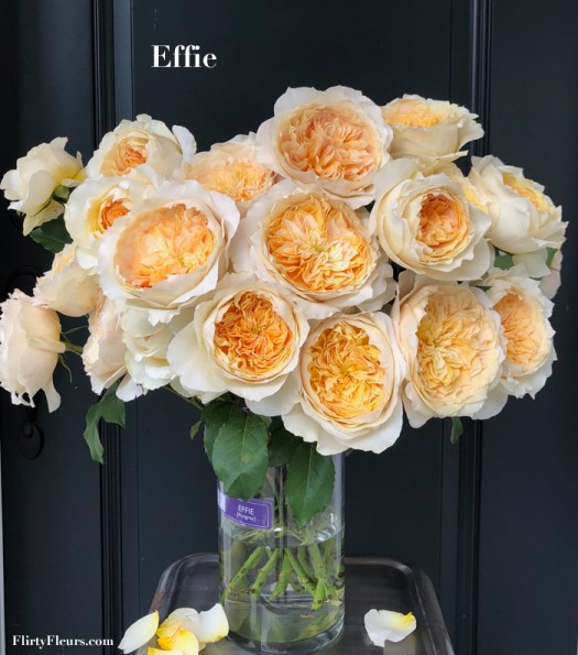 Flirty Fleurs Rose Study - Effie Garden Rose by David Austin - Alexandra Farms