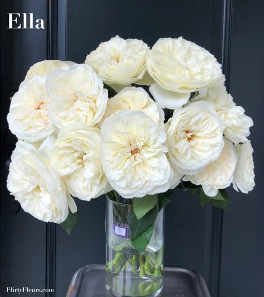 Flirty Fleurs Rose Study - Ella David Austin Garden Rose - Alexandra Farms White Rose