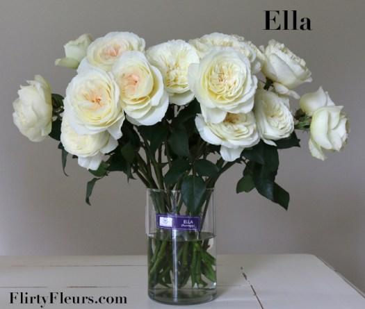 Flirty Fleurs Rose Study - Ella David Austin Garden Rose - Alexandra Farms