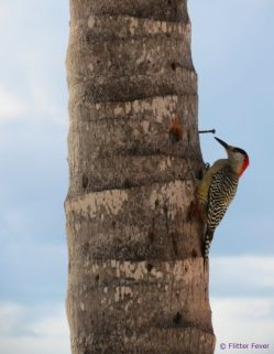 Woodpecker in Maria La Gorda, Cuba