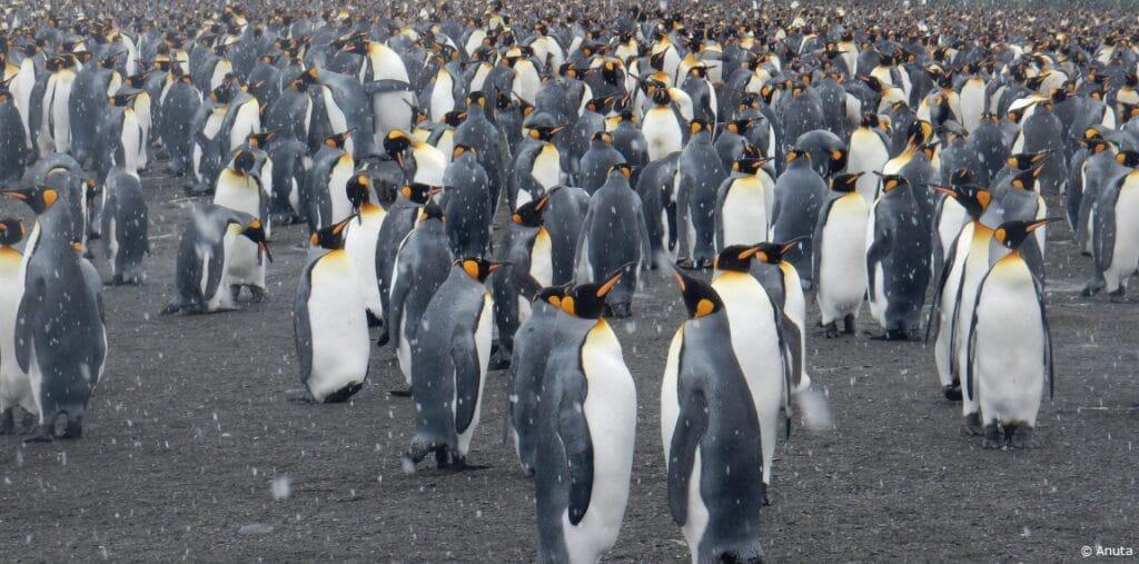 Emperor penguins Antartctica