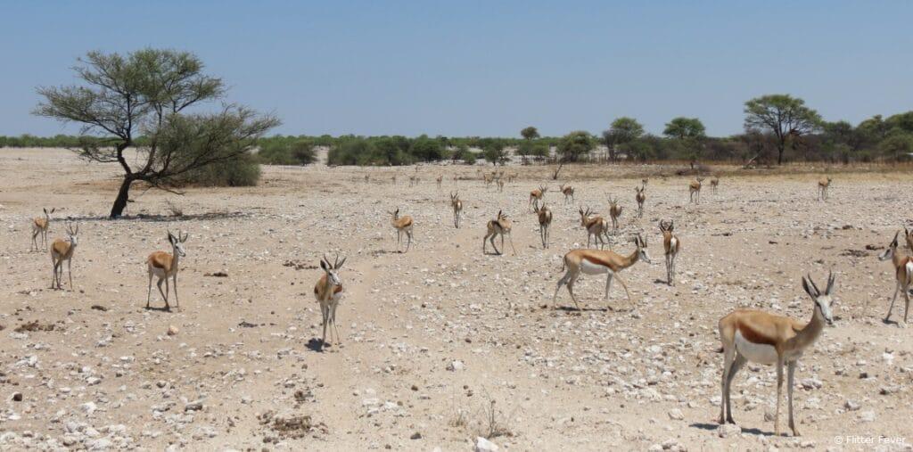 Springbokkies Etosha pan Namibia