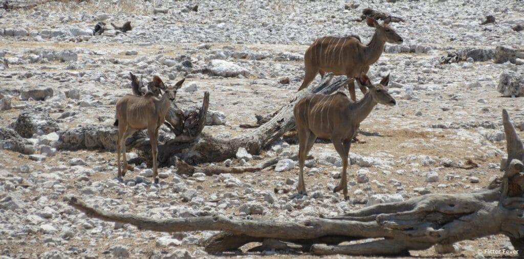 Kudus kudu Etosha Namibia