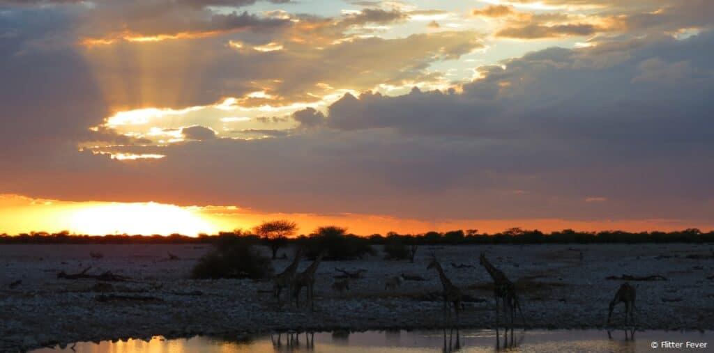 Giraffes and sunset at Okaukeujo Camp waterhole Etosha Namibia