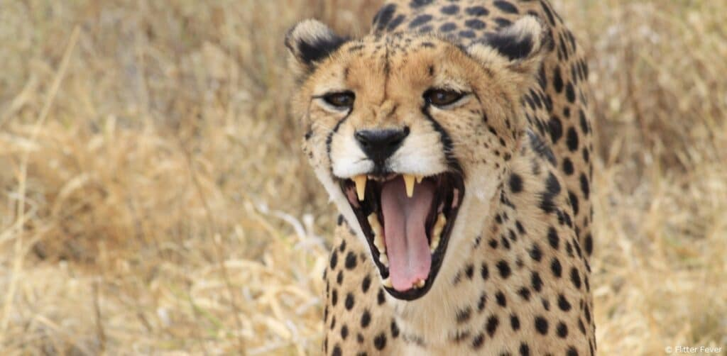 Cheetah Conservation Fund Namibia open
