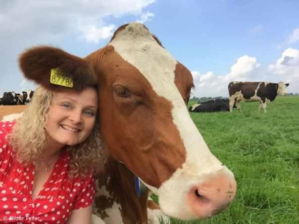 Cow cuddling Holland