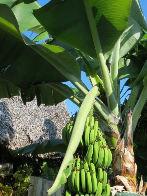 Bananas tree leaves Casa Hostal Idael & Dania in Matanzas Cuba