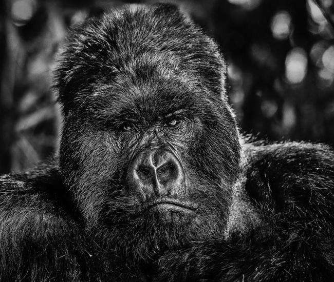 Gorilla Rwanda David Yarrow