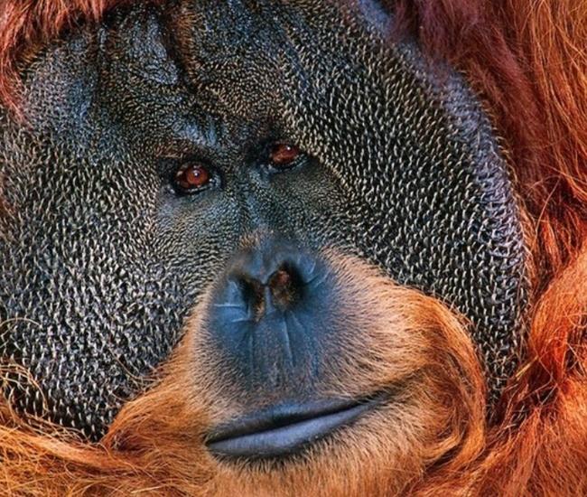 Orangatan in Borneo by Frans Lanting