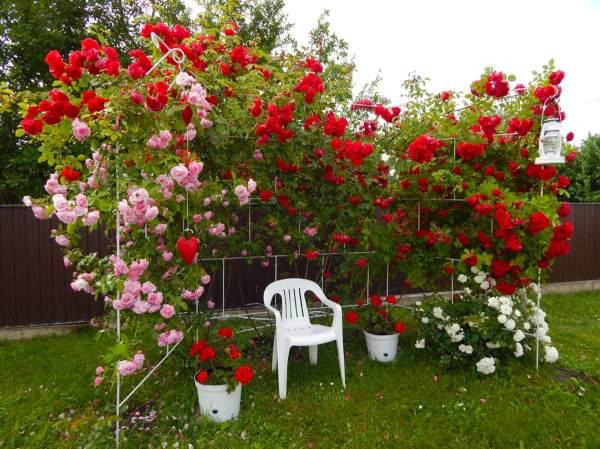 Плетистые розы: посадка и уход, виды и сорта, фото ...