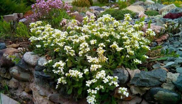 Почвопокровные растения фото и названия