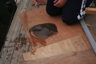 A Pregant Stingray That We Carefully Released