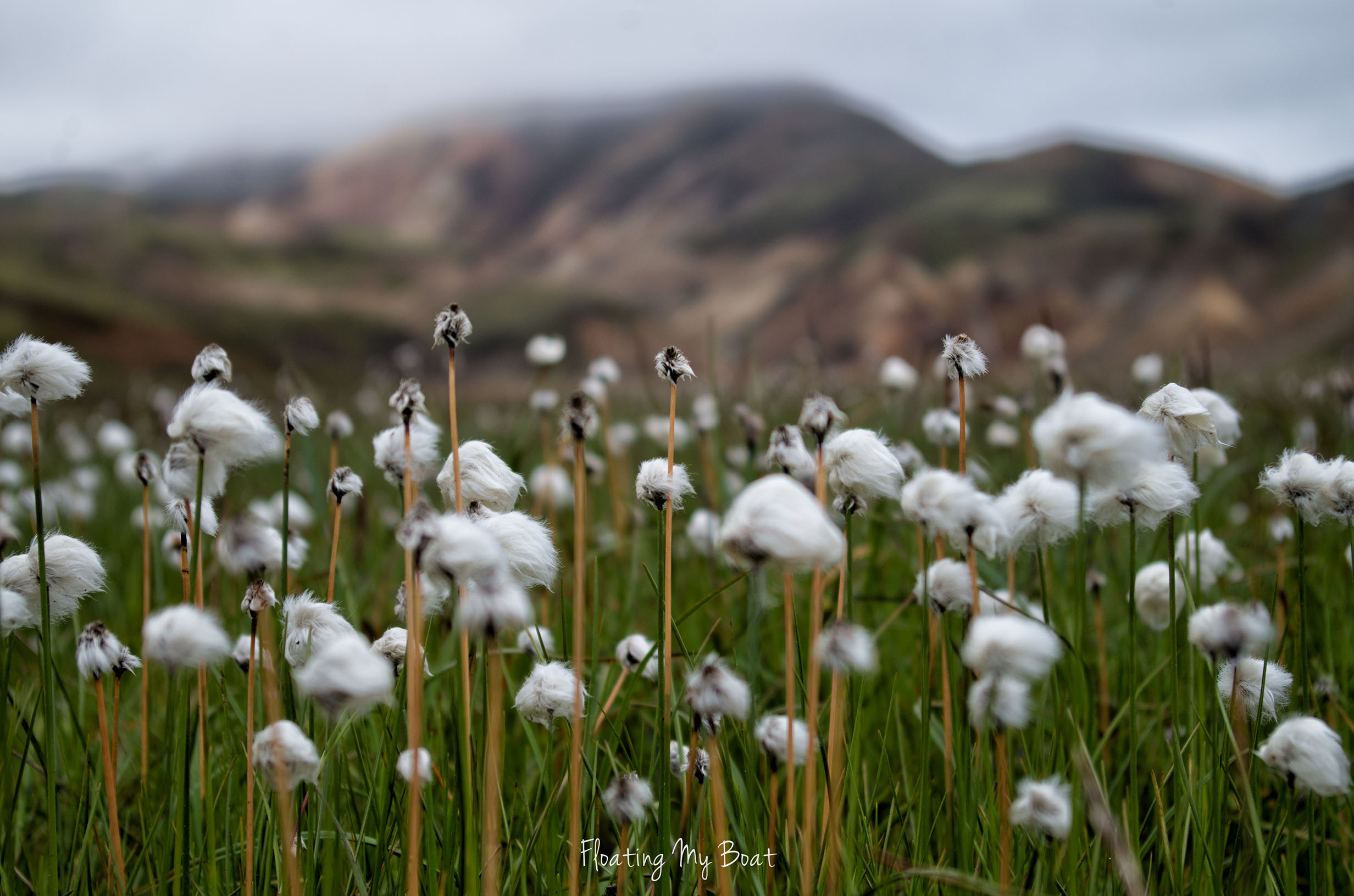 colourful-mountains-laugavegur-iceland-cotton-grass