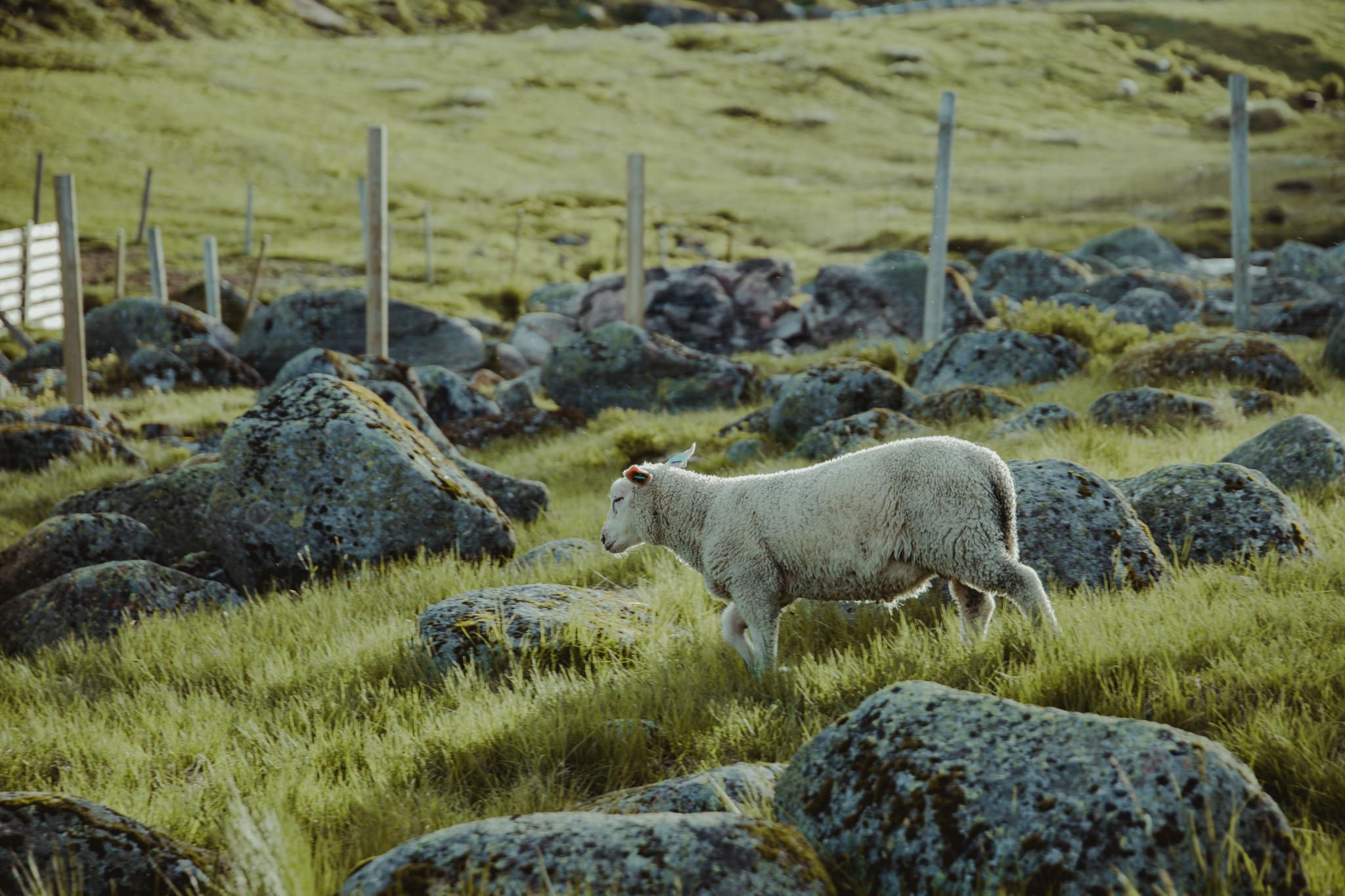 norwegia-droga-na-kjerag-owce
