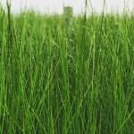 佐賀県産い草の刈り取り目前!畳替えや置き畳に変身する日はいつ?