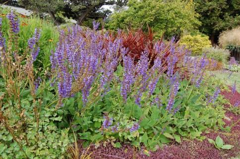 Salvia transylvania
