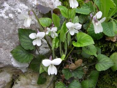 Viola Alba,White Flowers