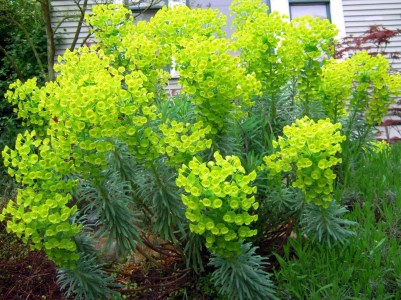 Euphorbia for gardens and vases