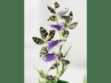 The Ornitoglossum Orchid