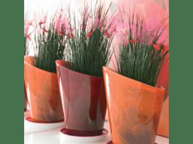Stylish Juncus Grass