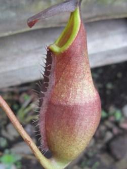 N Longifolia