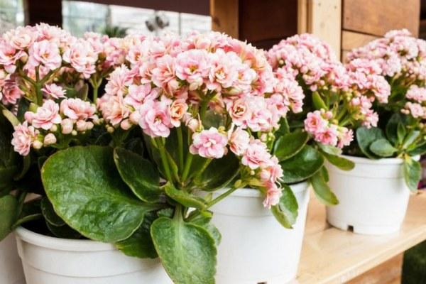 Комнатные цветы цветущие круглый год: фото и названия